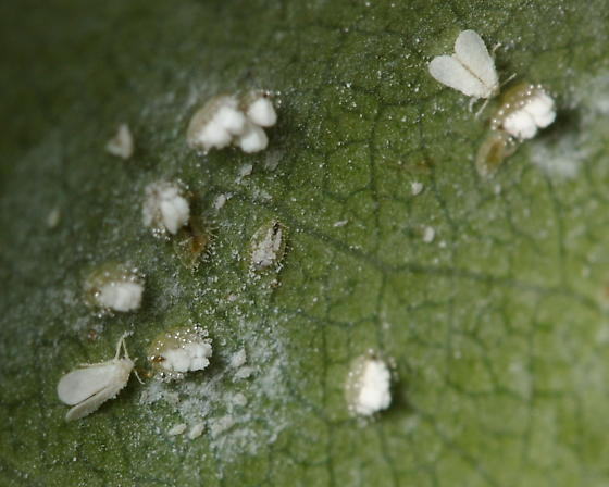Ash Whiteflies - Siphoninus phillyreae