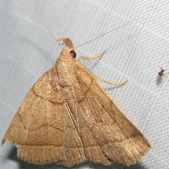 Dark Zanclognatha - Hodges#8347 - Zanclognatha obscuripennis
