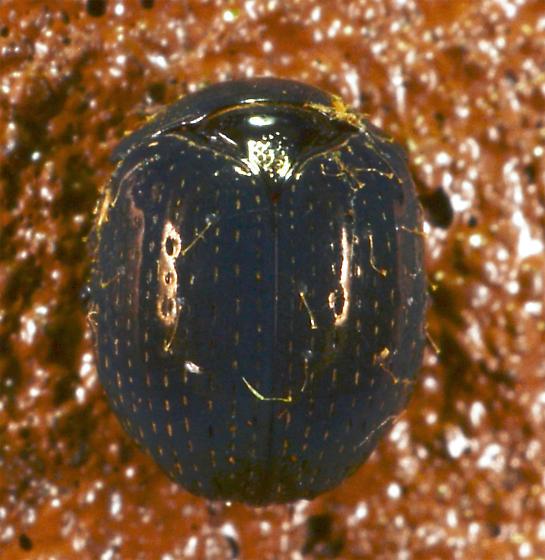 tiny blue beetle - Germarostes