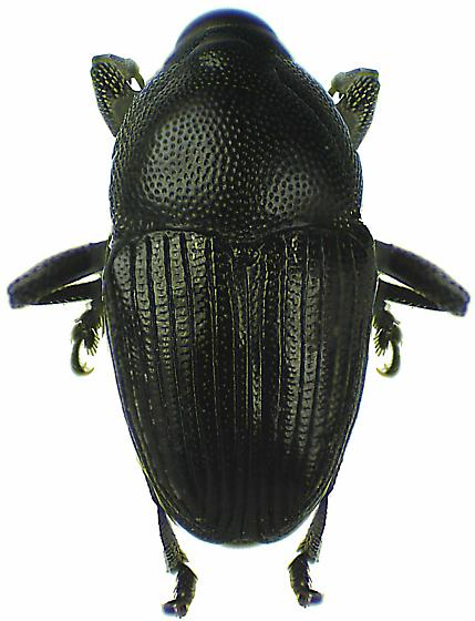 Aulobaris anthracina (Boheman) - Aulobaris anthracina