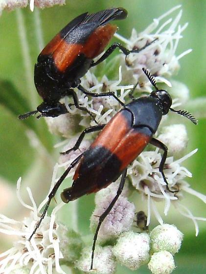 Wedge-shaped Beetles again - Macrosiagon cruenta - female