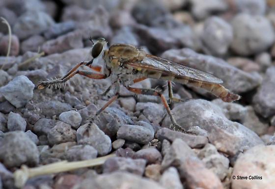 Proctacanthella leucopogon or tolandi - Proctacanthella - male