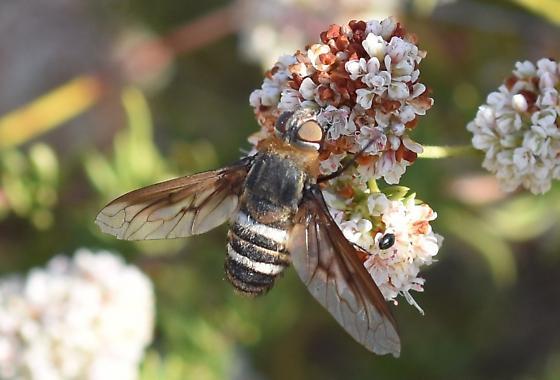 Large Fly on Buckwheat - Exoprosopa
