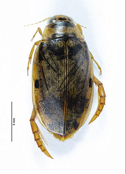 Eretes occidentalis Female? - Eretes sticticus - female