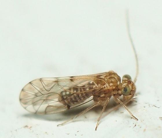 Unknown Barklouse - Lachesilla nita - male