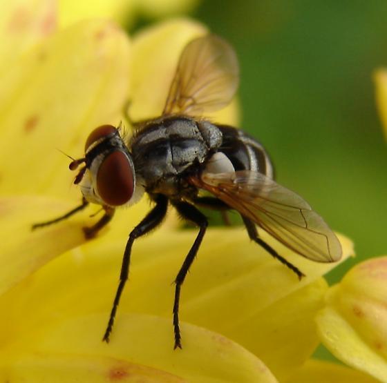 Gymnoclytia fly? - Gymnoclytia occidua - female