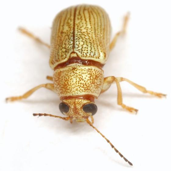 Pachybrachis diversus COMPLEX - Pachybrachis diversus