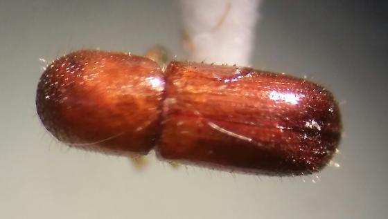Unknown bark beetle - Xyleborus