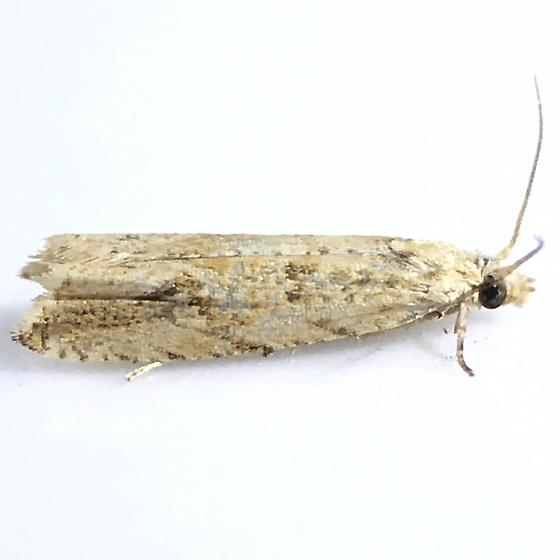 Bactra furfurana - female