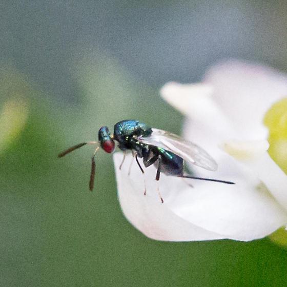 chalcid wasp - female