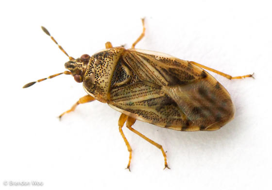 Chilacis typhae