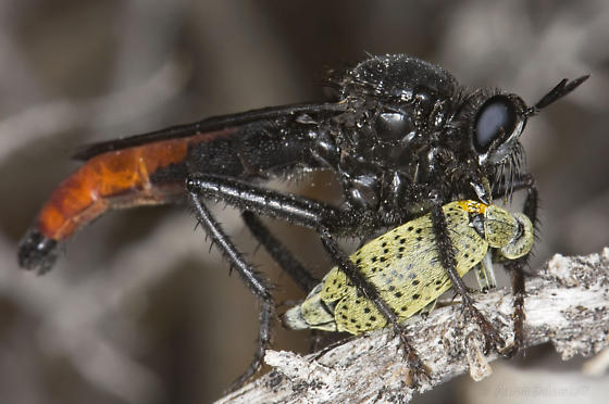 Large Black & Red Robber Fly...with Epicauta Prey - Ospriocerus vallensis