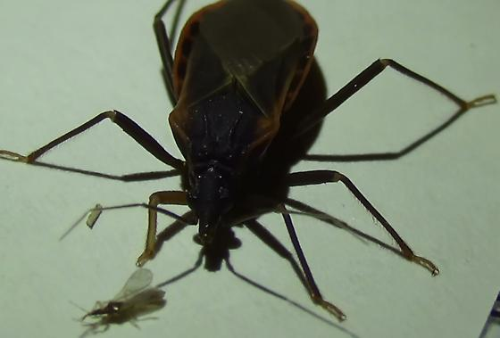 Bloodsucking Conenose Bug & Friends - Triatoma rubida - male
