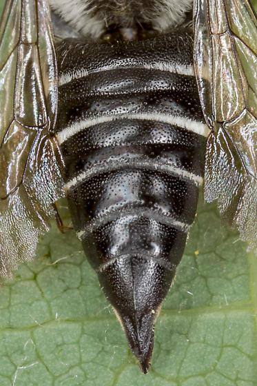 Female cuckoo leafcutter - Coelioxys porterae - female
