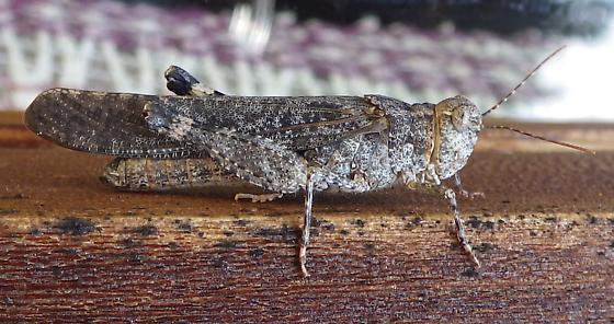 speckled grasshopper - Trimerotropis verruculata - female