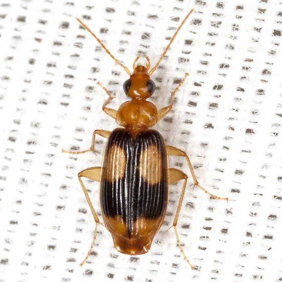 Ground Beetle - Nemotarsus elegans