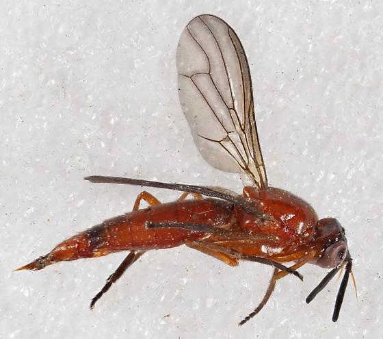 Unknown Fly - Loxocera