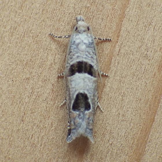 Tortricidae: Eucosma seamonsi - Pelochrista costastriata