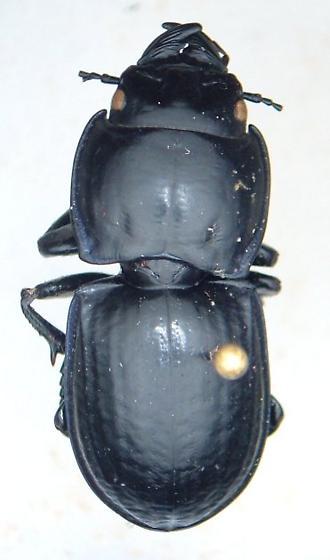 Pasimachus sublaevis