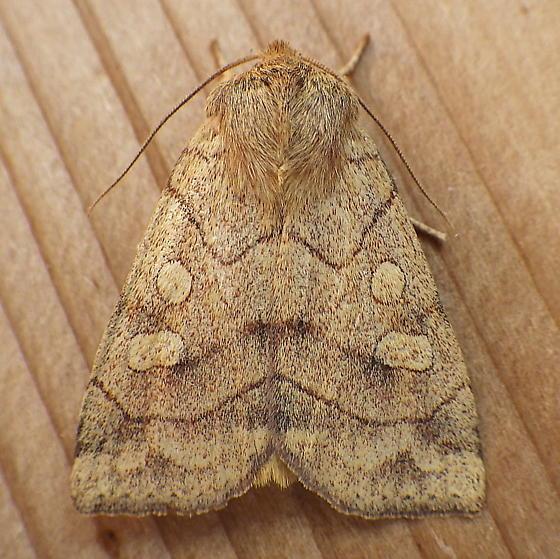 Noctuidae: Enargia decolor - Enargia decolor