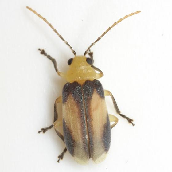 Derospidea ornata (Schaeffer) - Derospidea ornata