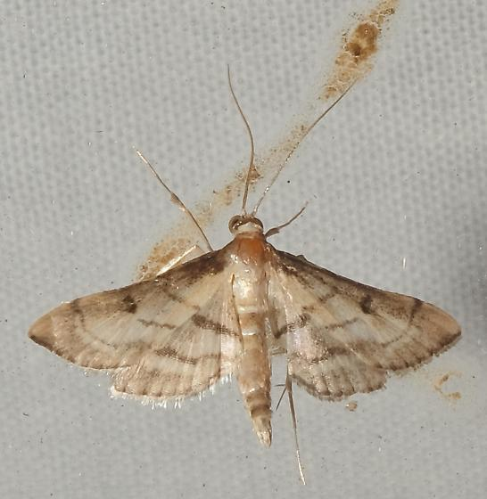 Is this Cnaphalocrocis trapezalis, Trapeze Moth? - Marasmia cochrusalis