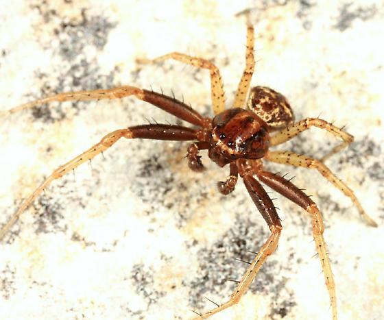 Three-banded Crab Spider - Xysticus triguttatus - male
