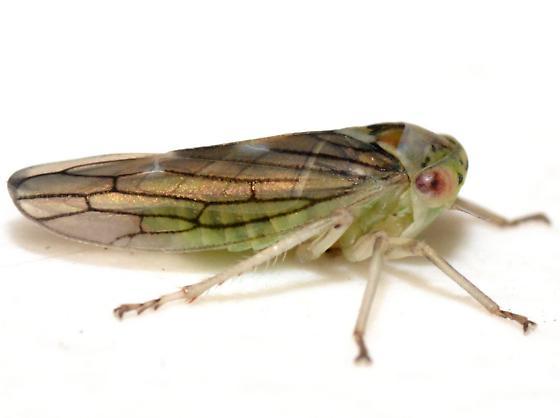 Idiocerus lachrymalis - male