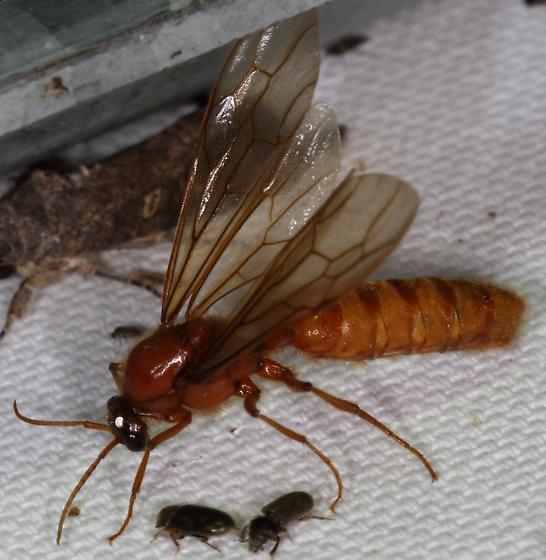 Ant - Labidus coecus