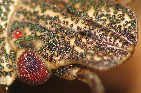 COOL! Stink bug head with shiny green bumps. - Halyomorpha