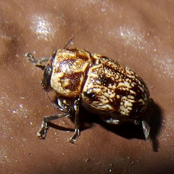 Pachybrachis sp? - Pachybrachis
