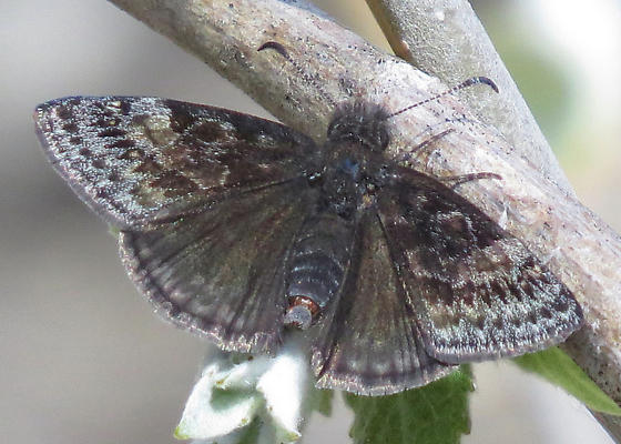 butterfly9640 - Erynnis icelus