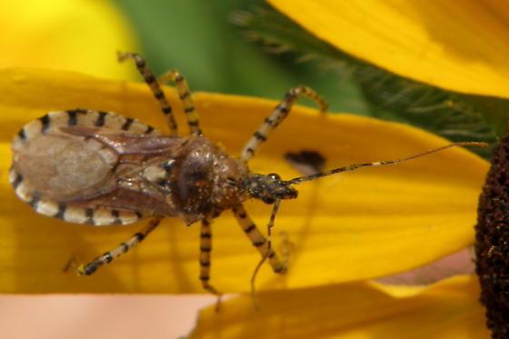 Unidentified Insect 15 - Pselliopus cinctus