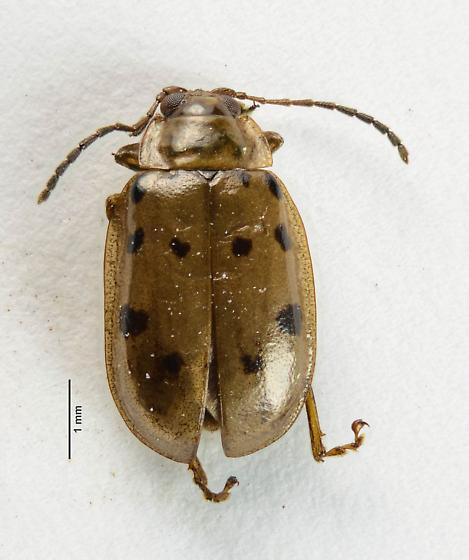 Alticini - Flea Beetles... - Capraita durangoensis
