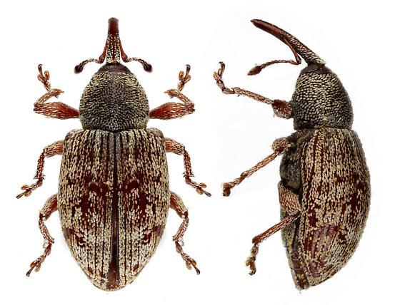 unknown weevil - Smicronyx sordidus