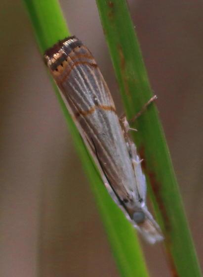 Parapediasia decorellus? - Parapediasia decorellus