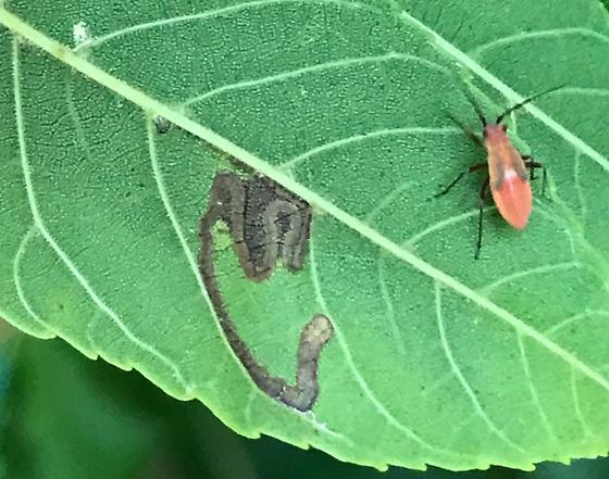 Leaf mines on Black Walnut - Stigmella juglandifoliella