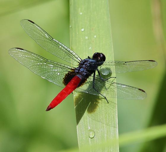 Planiplax sanguiniventris, Mexican Scarlet-tail - Planiplax sanguiniventris - male