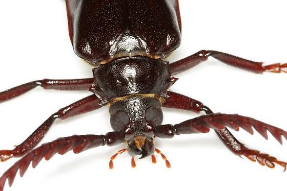 Prionus californicus Motschulsky - Prionus californicus - male