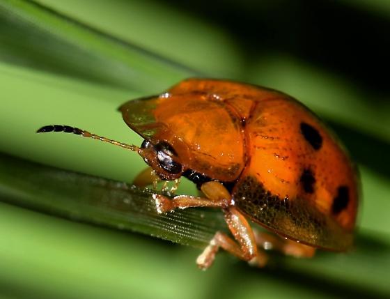 Beetle with membrane - Charidotella sexpunctata