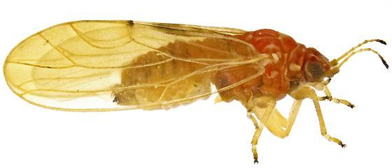 Female, Aphalara? - Aphalara