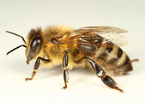Apis mellifera - female