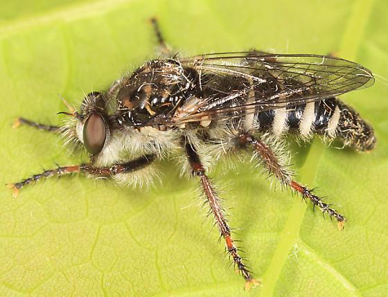 robber fly - Cyrtopogon marginalis