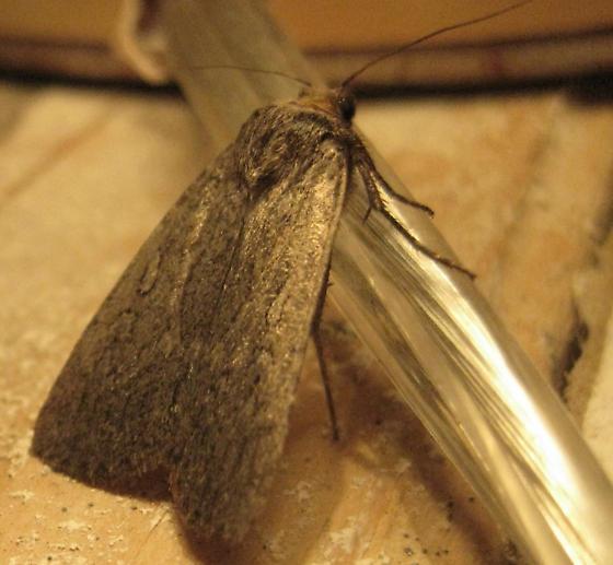 clothes moth bugguide net. Black Bedroom Furniture Sets. Home Design Ideas