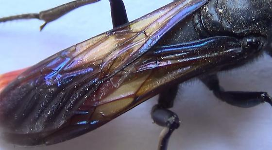 Thread-waisted Wasp Body Scan (wings) - Sphex lucae - female