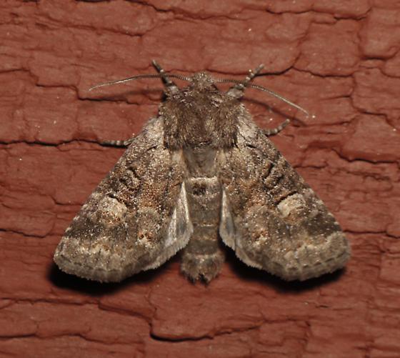 Brachylomia thula