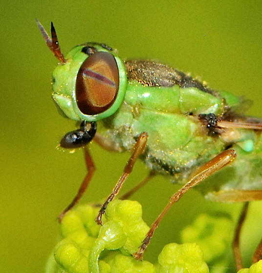 lime green and black fly - Soldier Fly  - Odontomyia cincta - female