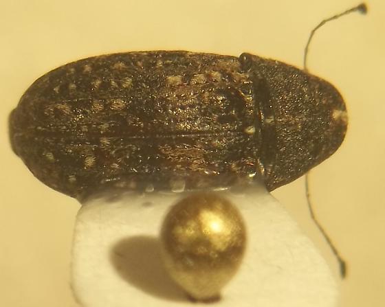 anthribidae - Piesocorynus