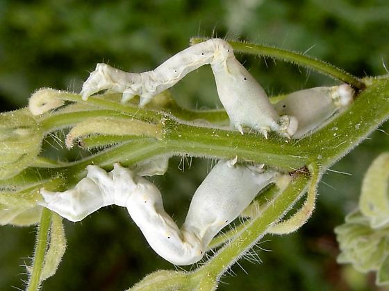 caterpillars - Acontiinae? - Tarache idella