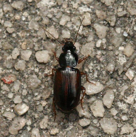 Ground Beetle - Stenolophus